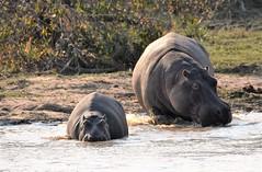 Follow me folllow........ (pstone646) Tags: hippopotamus animals nature wildlife two safari africa lake fauna motherandbaby young adult water waterhole