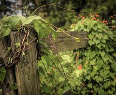 Unshackled (TuthFaree) Tags: rust georgia swga ga fence hff chain locked fencefriday green vine orange wild nature 7dwf