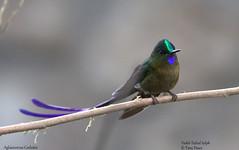 Violet-Tailed Sylph-Aglaiocercus Coelestis (tonydawe1) Tags: fieldguidebirdsoftheworld aglaiocercuscoelestis violettailedsylph hummingbird rainforest quito ecuador