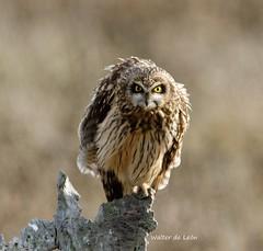 Short-eared Owl (Asio flammeus) Lechuzón de Campo (Canuck 07) Tags: asioflammeus shortearedowl