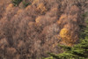 The Green and Gold (jasohill) Tags: autumn october color nature mountains iwate red trees 2017 hachimantai forest photography life colors fall colorful landscape japan golden