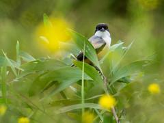 20171124-EM124611 (shutterblades) Tags: birds longtailedshrike olympusem1mkii olympusmzuiko300mmf4pro14tc seletaraerospacehub seletarwestlink