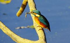 Eisvogel (Jürgen A. Mellert) Tags: eisvogel wasser alcedo kingfisher