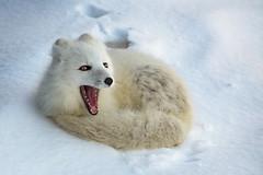 Afternoon Nap (Dan King Alaskan Photography) Tags: arcticfox fox vulpeslagopus deadhorse alaska napping yawn canon50d sigma150600mm