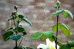 Good work (dlanor smada) Tags: cobwebs webs spiderwebs roses autumn morning