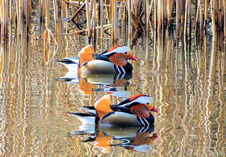 Mandarins à l'étang du Sépey