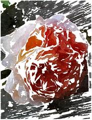 O Tod, o Tod, schreckliches Bild (amras_de) Tags: rose rosen ruža rosa ruže rozo roos arrosa ruusut rós rózsa rože rozes rozen roser róza trandafir vrtnica rossläktet gül blüte blume flor cvijet kvet blomst flower floro õis lore kukka fleur bláth virág blóm fiore flos žiedas zieds bloem blome kwiat floare ciuri flouer cvet blomma çiçek zeichnung dibuix kresba tegning drawing desegnajo dibujo piirustus dessin crtež rajz teikning disegno adumbratio zimejums tekening tegnekunst rysunek desenho desen risba teckning çizim