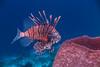 Meditation over a barrel sponge (agasfer) Tags: 2017 curacao costaricaunderwaterscubadivingmarinelifecanong1x fish lionfish intova iss2000