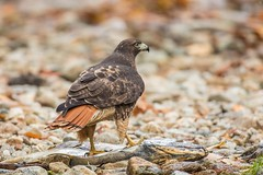 _V2A1502 (Confusion_Circle) Tags: hawk park red salmon tailed