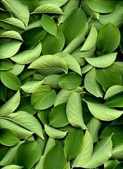 58606.01 Stewartia pseudocamellia (horticultural art) Tags: horticulturalart stewartiapseudocamellia stewartia leaves random chaos pattern