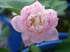 Sacred Lotus 'Fen Ling Long 13' Wahgarden Thailand 003 (Klong15 Waterlily) Tags: lotus thailandlotus flower lotusflower pond pondplant landscape nelumbonucifera