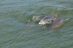 Dolphins Playing in Sarasota Bay (AndyS03) Tags: dolphin dolphins bay sarasota florida water animal animals