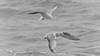 two seagulls (ddimblickwinkel) Tags: birds water nikon tamron d810 animal blackandwhite black white schwarzweiss schwarz weiss bw sw art bea möve