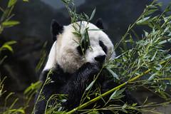 Giant Panda at National Zoo (dckellyphoto) Tags: nationalzoo nationalzoologicalpark washingtondc districtofcolumbia smithsonian 大熊猫 giantpanda ailuropodamelanoleuca panda
