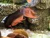 Betta attacks Rubber-Lipped Plecostamus (avatarsound) Tags: fish betta hunt hunting aquarium attack attacking
