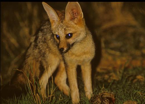 Cape fox , Vulpes chama , Botswana 1345