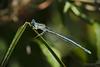 White-legged damselfly (marekidec) Tags: 2017 berlin platycnemispennipes damselfly whiteleggeddamselfly