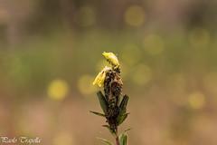 Imperfezioni (paolotrapella) Tags: fiori autunno verde natura yellow giallo bokeh paolotrapella canoneos tamron70300vc