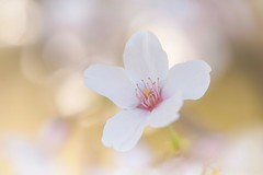 Where Your Heart Is (Anna Kwa) Tags: blossom flower macro bokeh christchurch botanicalgarden southisland newzealand annakwa nikon d750 afsvrmicronikko105mmf28 my heart open always forever searching waiting seeing soul throughmylens omm travel world destiny fate journey life findme dreams