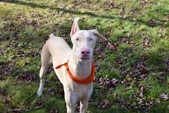 DSC_0020 (justinluv) Tags: prima doberman whitedoberman albinodoberman dobermanpinscher dobe dobie puppy