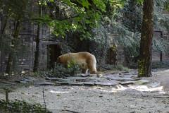 Eisbärin Katinka im Zoo de La Flèche (Ulli J.) Tags: zoo frankreich france frankrig frankrijk paysdelaloire sarthe loir anjou maineangevin laflèche eisbär polarbear ourspolaire isbjørn ijsbeer jegesmedve белимедвед