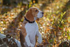 dog portrait Beagle in autumn forest (androsoff) Tags: beagle dog pet portrait beautiful bright sunny forest leaves grass light trees background bokeh closeup animal mammal walk fall november october face look ears eyes purebred black white brown tricolor honey hunter canine branches
