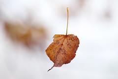 Fallen leaf (verawald) Tags: autumn leaf fallen falling minimalistic minimalism outdoor herbst gefallen blatt minimalismus closeup