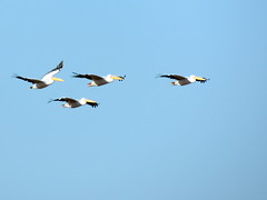 Pelicans (markb120) Tags: bird fowl flyer flier animal fauna wing flank arm blade airfoil fly flock pack flight school swarm bevy pelikan blue sky