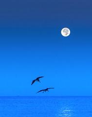 pelican moon in blue (otgpics) Tags: full moon phase lunar pelicans gulls marine shorebirds longboat key florida gulf coast horizon tungsten white balance dawn early morning sea fishing boat