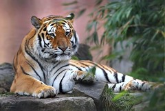 ALJOSCHA (babsbaron) Tags: nature tiere animals katzen cats bigcats raubkatzen tiger siberischertiger siberiantiger kater zoo erlebniszoo hannover specanimal specanimalphotooftheday