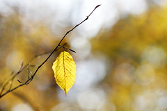 lonesome beauty (bauingenieuse) Tags: herbst autumn november wald wood baum tree laub leaves bunt color yellow gelb sonne sun spaziergang bauingenieuse canon 60d natur outdoor 100mm makro macro 2017 ngc