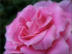 (Tölgyesi Kata) Tags: rose rózsa rosegarden rózsakert nyíregyháza tuzsonjánosbotanikuskert rosen rosa flower rosier blossom withcanonpowershota620 pinkflower ősz fleur virág botanicalgarden autumn herbst