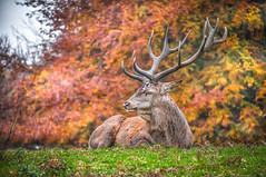 My boy ....Richmond Park. South London. (Einir Wyn Leigh) Tags: stag animal london park autumn november nature outdoors england love nikon flickrheroes