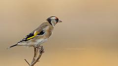 Goldfinch - Putter (Joke.Benschop) Tags: birds distelvink goldfinch jokebenschop levosgreece memoriesfromlesvos nikonafs80400mmf4556gedvr nikond7100 putter wwwjokebenschopcom