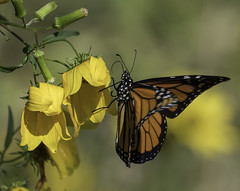MonarchButterfly_SAF2017 (sara97) Tags: danausplexippus butterfly copyright©2017saraannefinke endangered insect missouri monarch monarchbutterfly photobysaraannefinke pollinator saintlouis