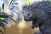 Icana - a porcupine beauty (Rita Petita) Tags: icana porcupine animalambassador sandiegozoo sandiego california specanimal