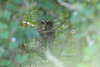 Diamond in the Rough (Explored) (Tommy Quarles) Tags: barred owl carlisle county kentucky ky kos canon 7d mark ii
