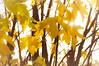 Warm November afternoon (SimonFlint) Tags: leaves sun yellow nikon d2x 50mm