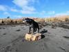 47/52/17 Big boy on the beach (Hodgey) Tags: dog josh lab beach pose sand stump dunes 52weeksfordogs