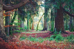 (Claire*Marsh) Tags: newforest newforestnationalpark rhinefield drive hampshire landsape forest trees autumn fall green red orange brown light sunset