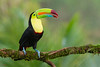 Keel-billed Toucan (Ramphastos sulfuratus) perched on a branch calling (Chris Jimenez Nature Photo) Tags: birding rainforest nature keelbilledtoucan birds tropics leastconcern perched wildlife costarica centralamerica chrisjimenez sideview calling branch ramphastossulfuratus tropical oneanimal