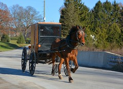 Buggy Ride. New Wilmington, PA (bobchesarek) Tags: buggy horse harness amish padutch rural farm blinders trot country autumn newwilmington pennsylvania
