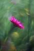 DSC09050 Pink Daisy (Sugi Ong) Tags: makro closeup bokeh dof sydney australia sony a7s bellows inverse optic garden outdoor parks schneider kreuznach enlarger lens componars