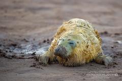 (jonathan_ed1984) Tags: donnanook lincolnshire seal sealpup greyseal commonseal atlanticgreyseal east eastcoast jonathanwintlephotography canon 5dmkiii 5d3 wildlife wildlifephotographer wildlifephotography britishwildlife british november 2017 winter aut