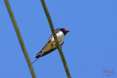 Barn swallow (Jurek.P) Tags: birds bird barnswallow swallow jaskółka masuria mazury poland polska jurekp sonya77