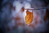 Fall and Winter ... (Rogg4n) Tags: autumn automne fall season tree leafs colors warm switzerland nature sigma1835mmf18dchsm feuille feuillage vegetal sigma macro forest bokeh proxi canoneos5dmarkiii 2017 snow winter cold ice jura suisse franchesmontagnes etangdegruère