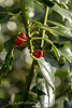 wk 47 / 52 2017 - Holly (lakeland72) Tags: holly christmas berry bocca