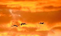 Flamants roses - Villeneuve les Maguelone (Marc ALMECIJA) Tags: flamant rose pink flamingo oiseau bird aves vogel sunset coucher de soleil orange trois three flight amateur wildlife sony rx10m3 nature natur outside outdoor