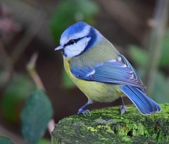 Blue Tit - Taken at Titchmarsh Nature Reserve, Aldwincle, Northants. UK (Ian J Hicks) Tags: