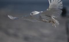 Snowy Owl (Weiguo Jiang) Tags: snowyowl birds birding birdinflight capturedbandedandreleased islandbeachstatepark newjersey nikond850 nikonafsnikkor800mmf56efledvr
